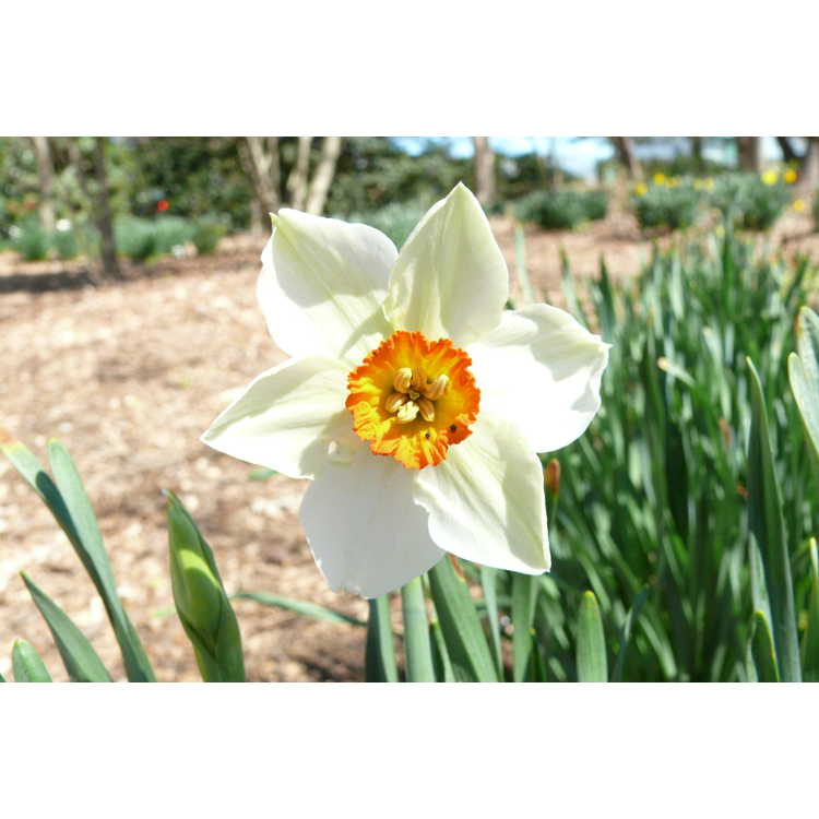 Narcissus 'Matapan' - small-cupped daffodil
