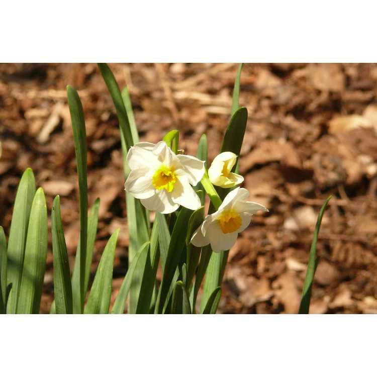 Narcissus 'Laurens Koster' - tazetta daffodil