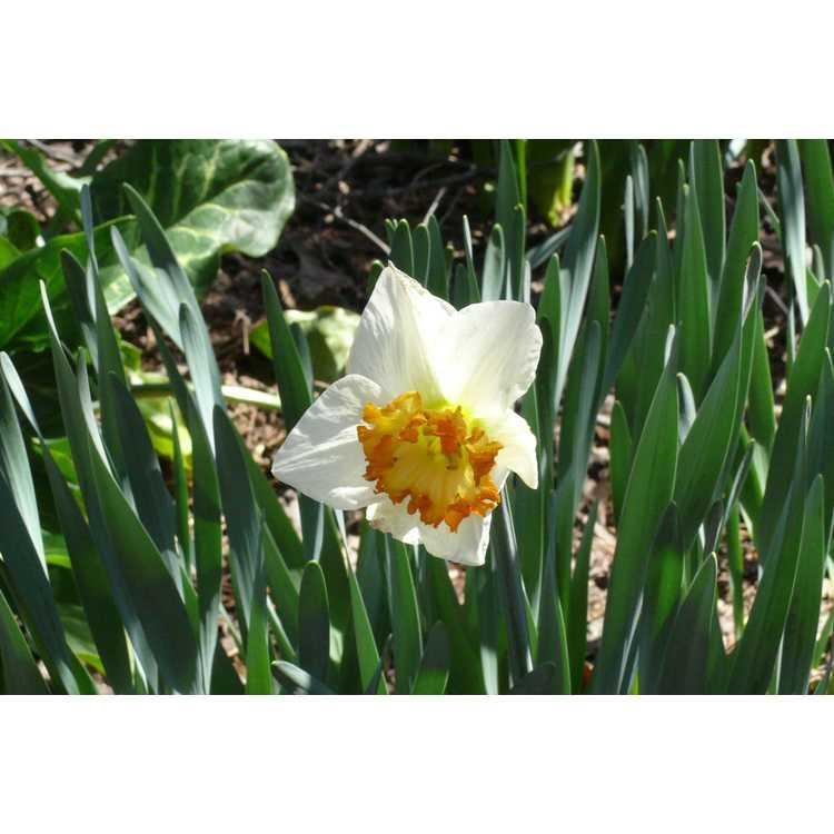 Narcissus 'Virginia Sunrise'