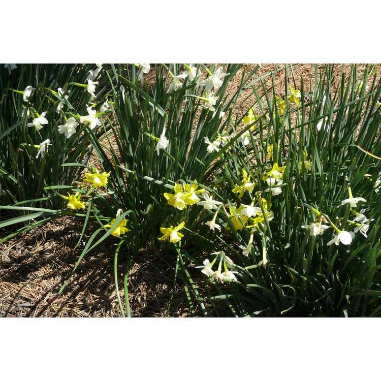 Narcissus 'Hillstar' - jonquilla daffodil