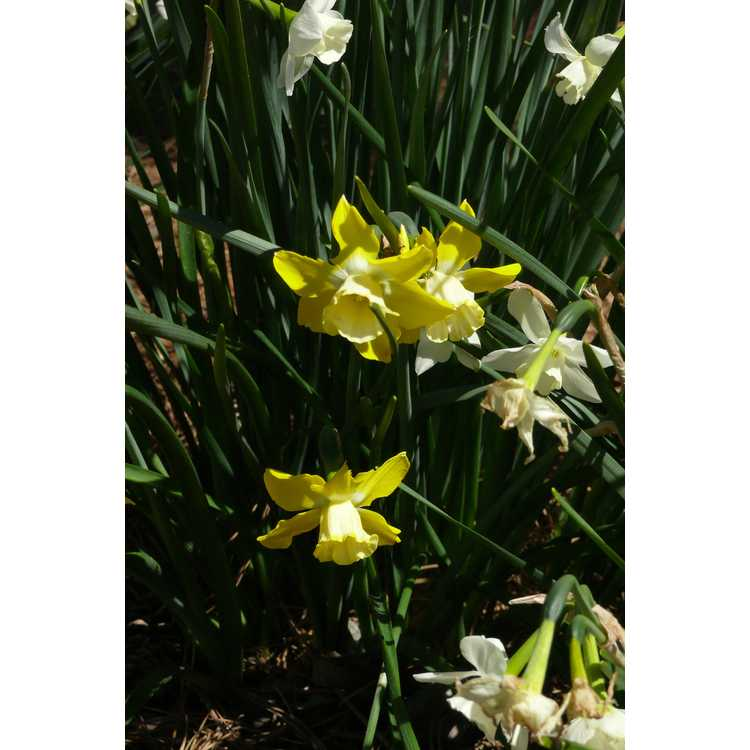 Narcissus Hillstar