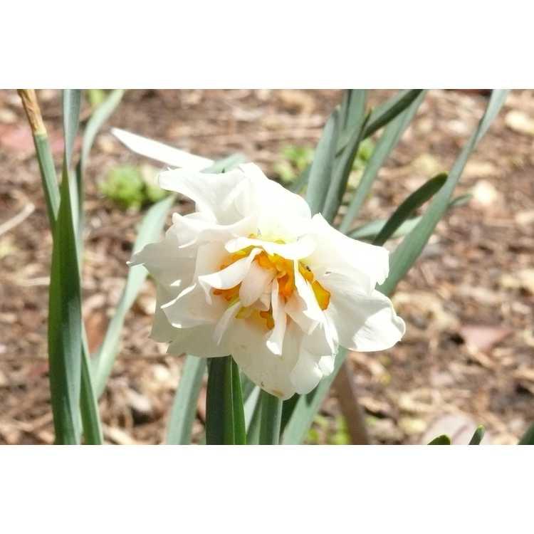 Narcissus 'Honolulu' - double daffodil