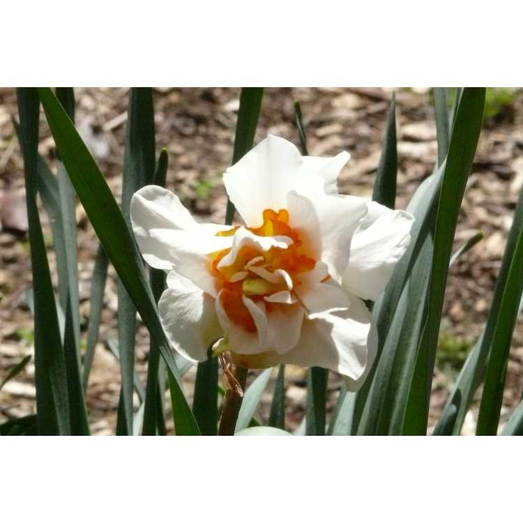 Narcissus Honolulu