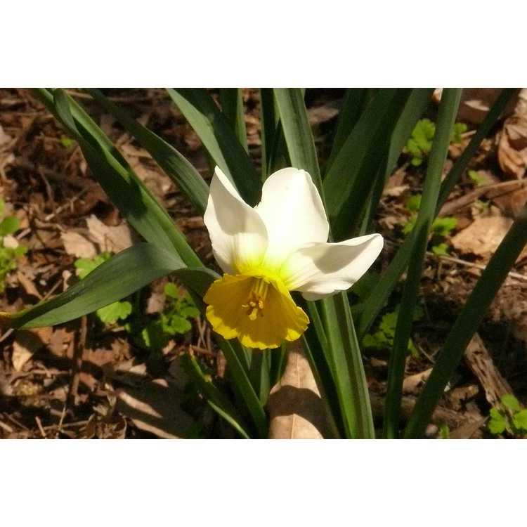 Narcissus 'Larkelly' - cyclamineus daffodil