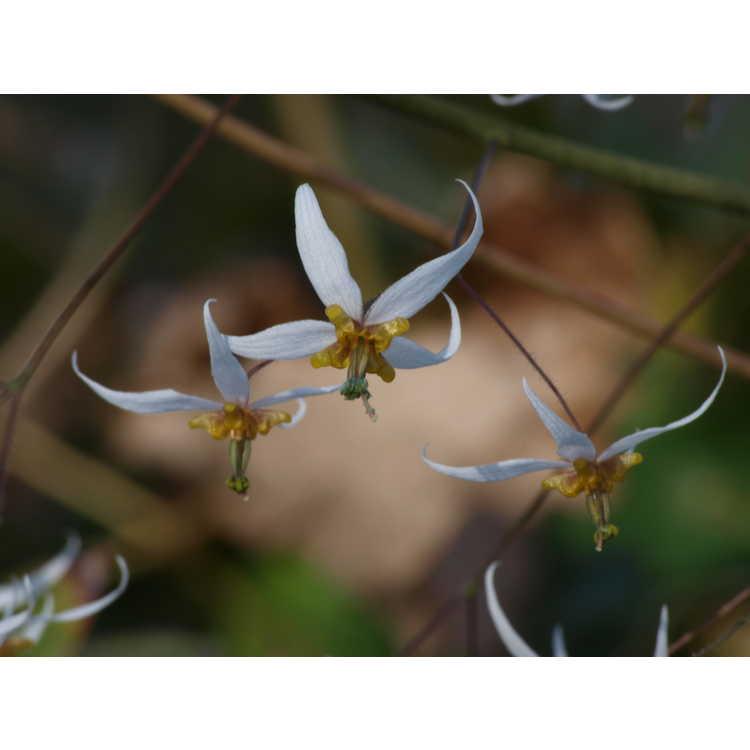 Epimedium pubescens