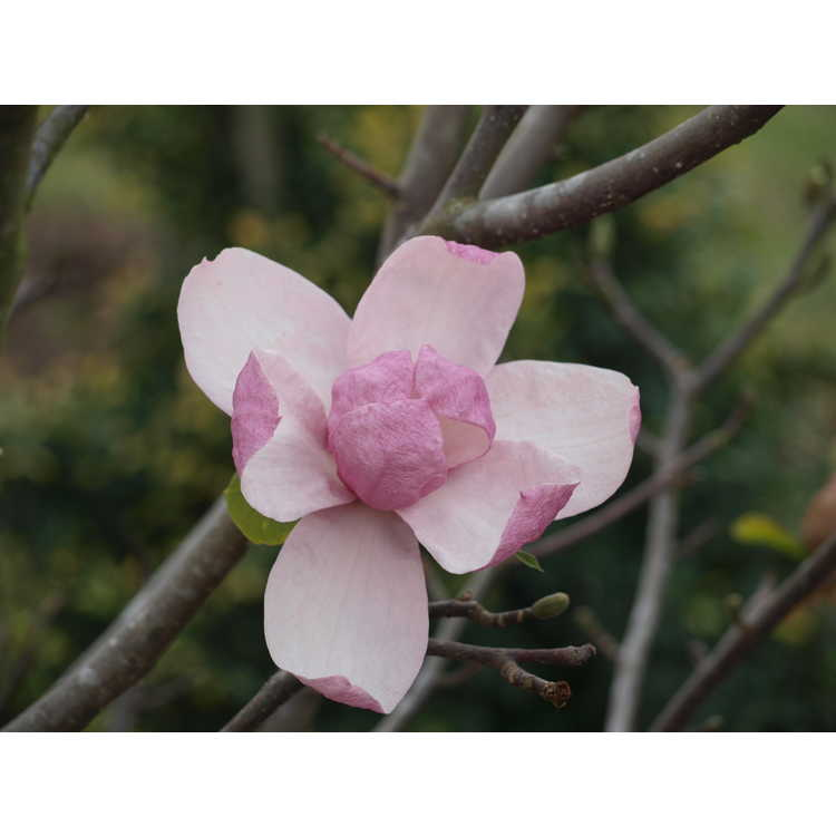 Magnolia 'Pink Delight'