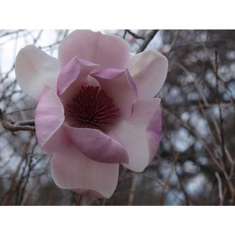 Magnolia 'Iolanthe' - Jury hybrid magnolia