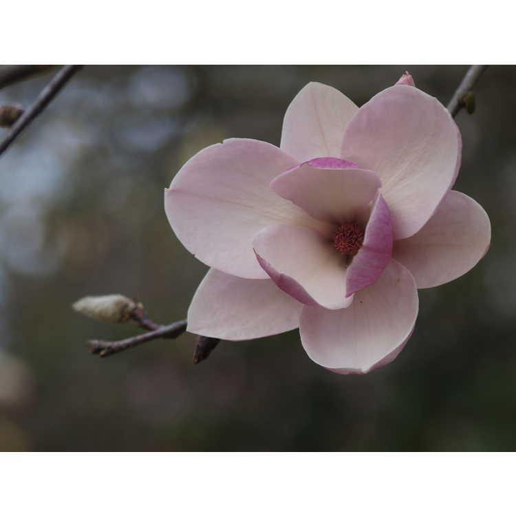 Magnolia soulangeana Sundew
