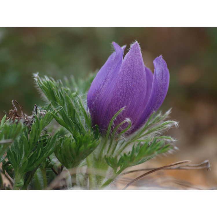 Pulsatilla vulgaris subsp. grandis