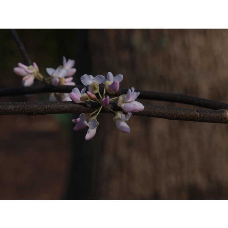 Cercis canadensis - eastern redbud