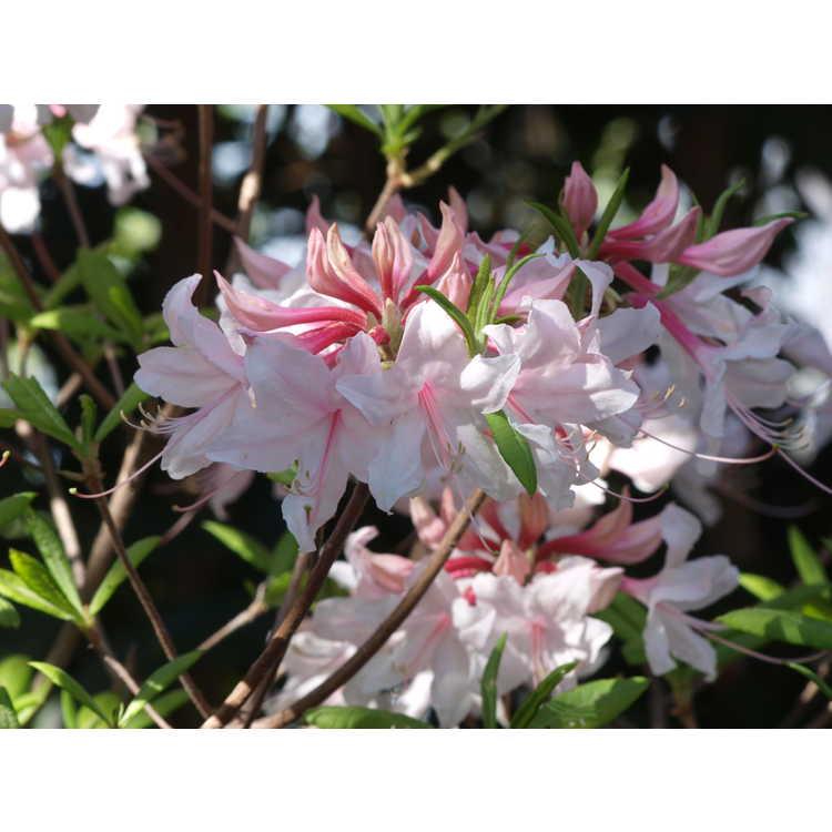 Rhododendron Spring Sensation