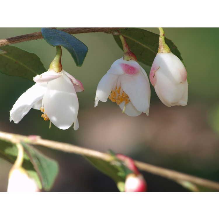 Camellia tsaii 'Erina'