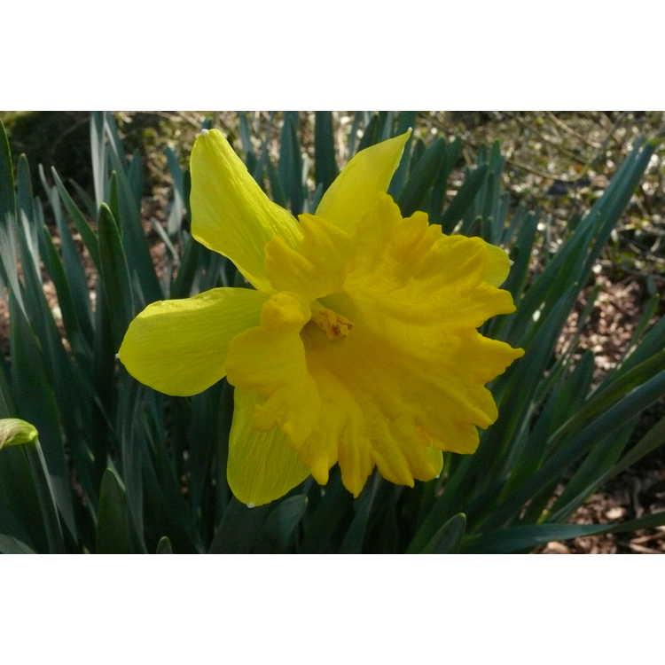 Narcissus 'Unsurpassable'