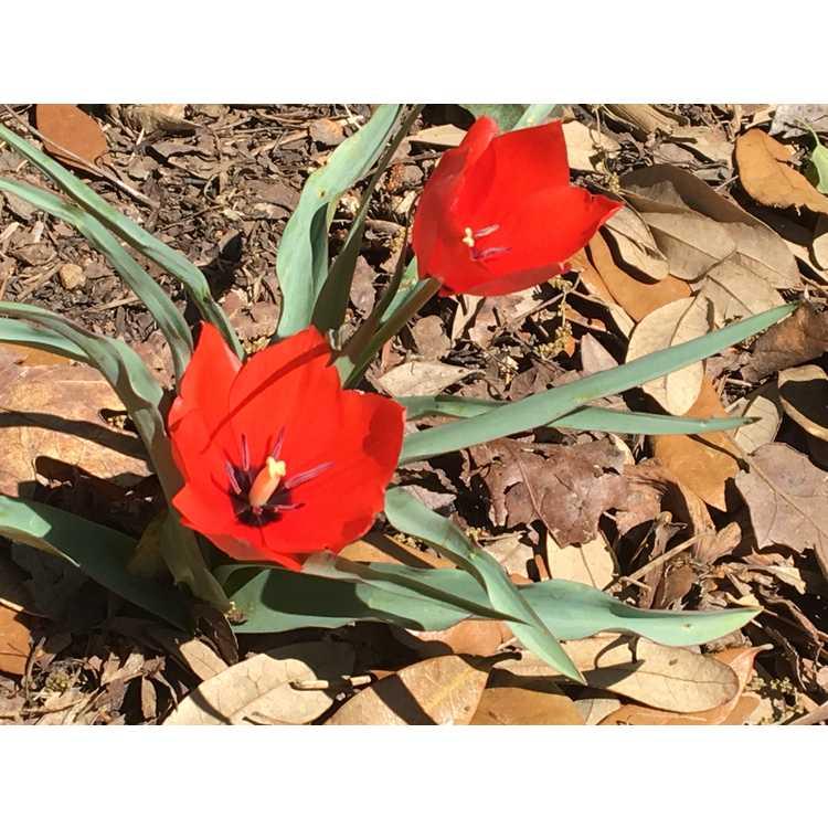 Tulipa praestans 'Shogun' - tulip
