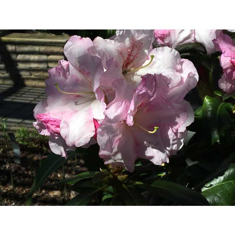 Rhododendron 'Janet Blair' - Southgate Breezy rhododendron