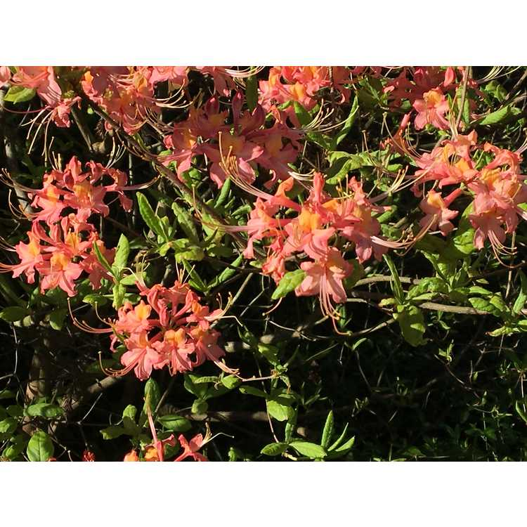 Rhododendron flammeum 'Early Red Flame' - Oconee azalea