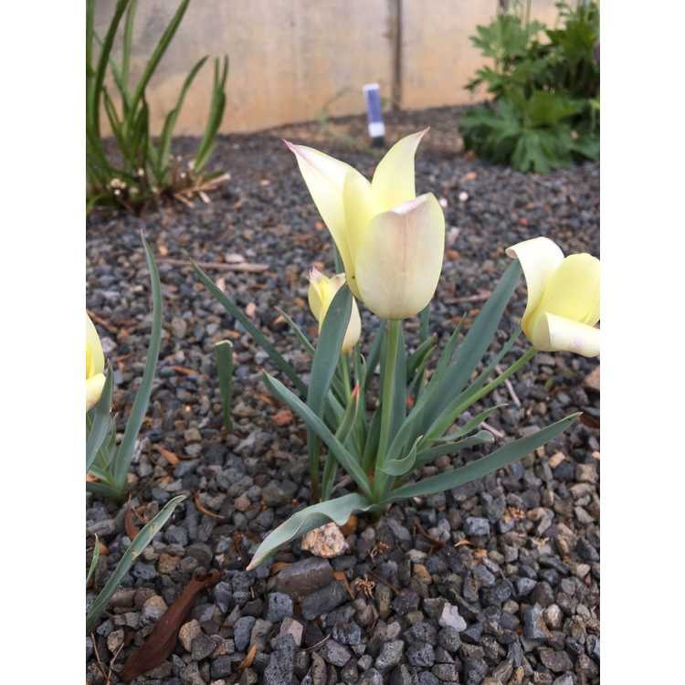 Tulipa linifolia [Batalinii Group] 'Honky Tonk'