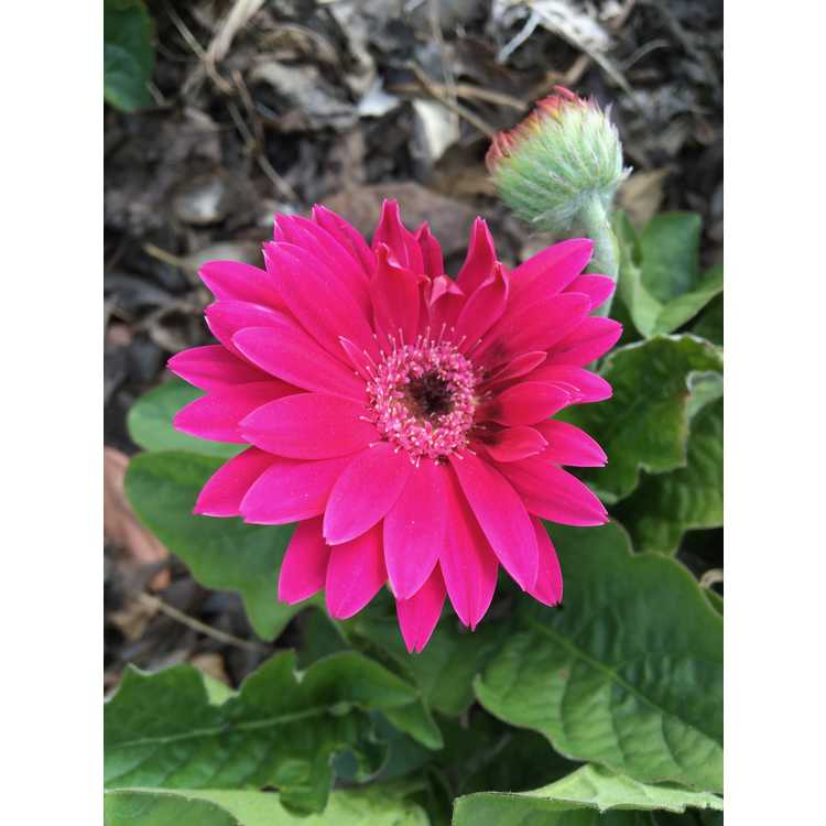 Gerbera Garvinea Sweet Dreams