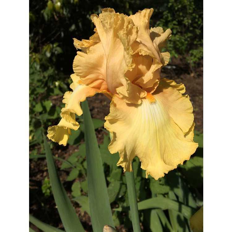 Iris 'Genteel'