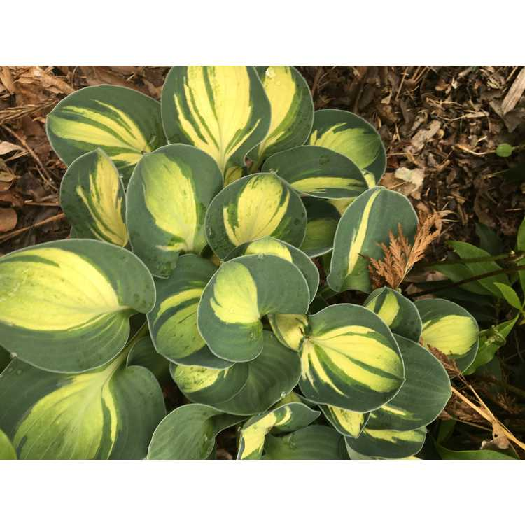 Hosta 'Mouse Trap'
