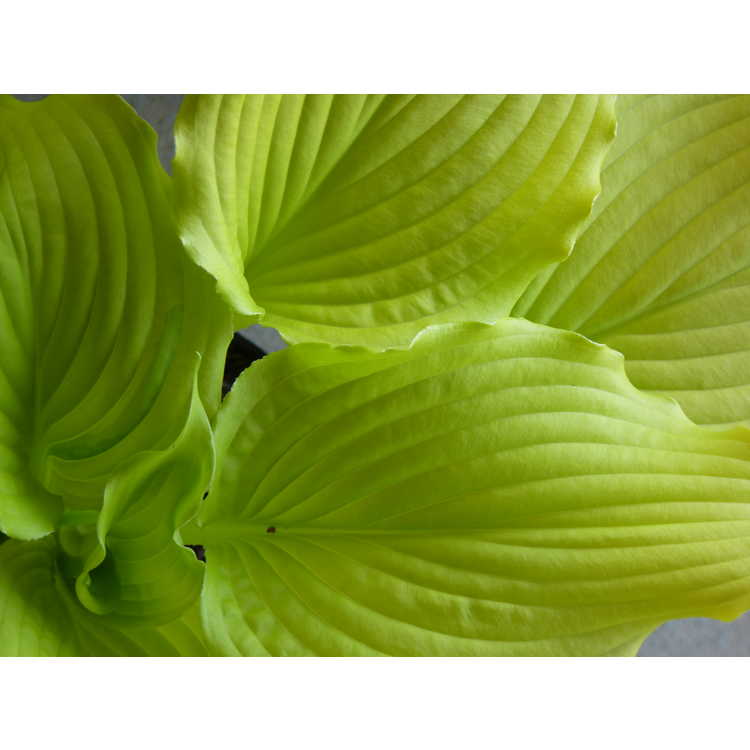Hosta 'Dancing Queen' - dancing queen hosta