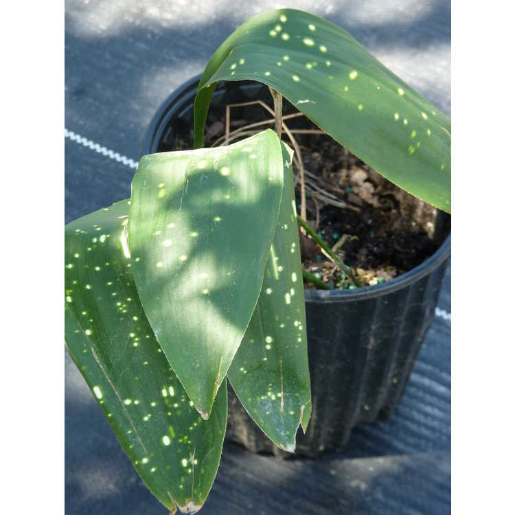 Aspidistra sichuanensis 'Rawhide' - cast iron plant