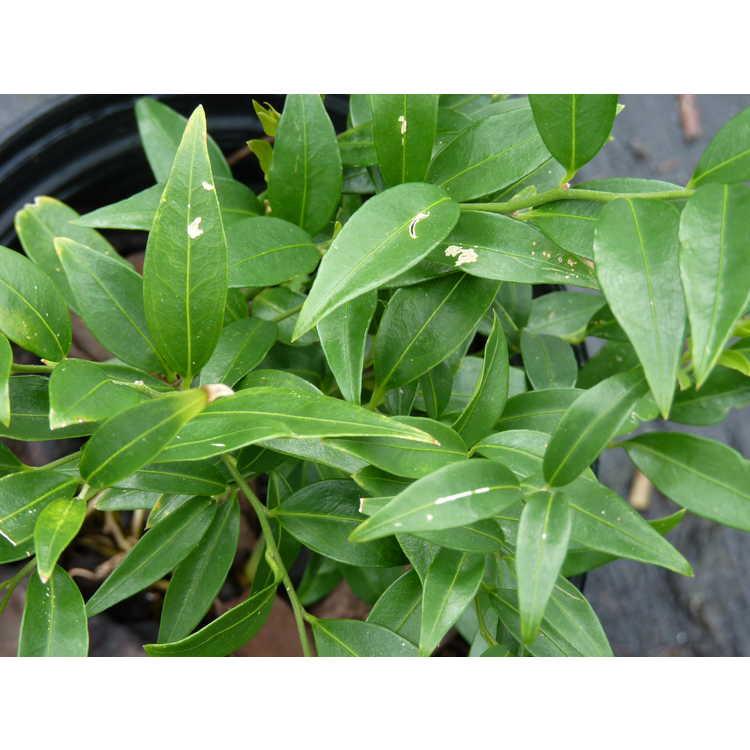 Sarcococca ruscifolia var. chinensis 'Dragon Gate'