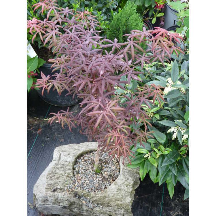 Acer palmatum 'Peve Starfish'