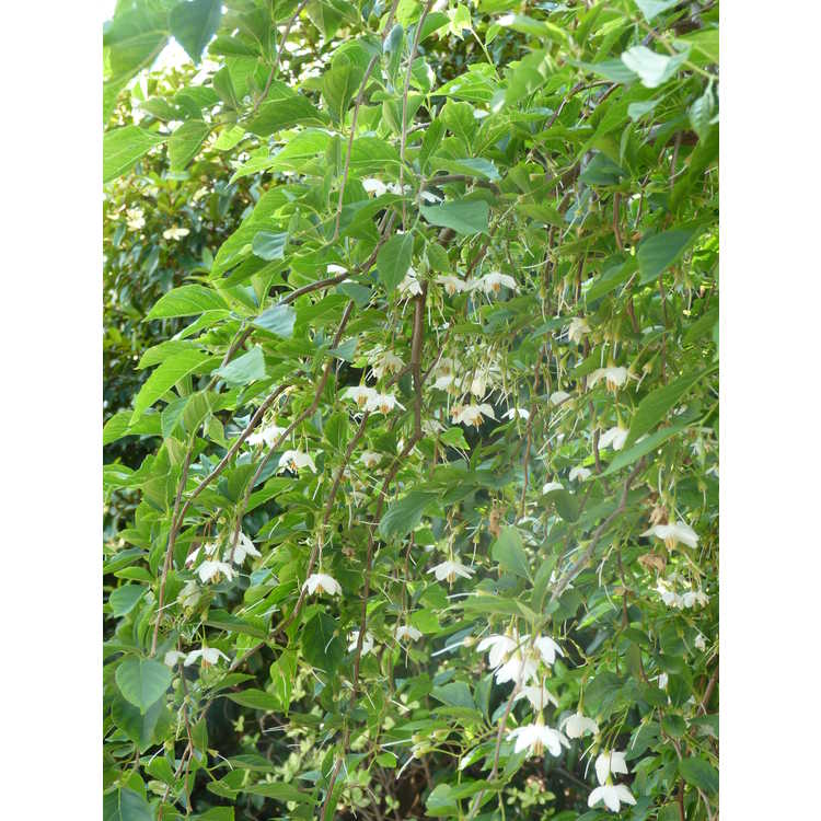 Styrax japonicus 'Fragrant Fountain'