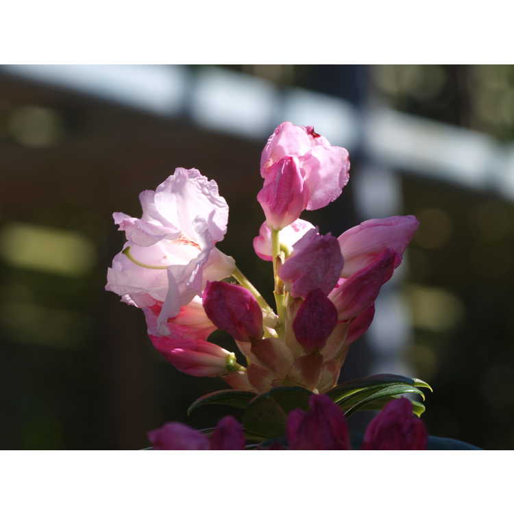 Rhododendron Janet Blair Southgate Breezy