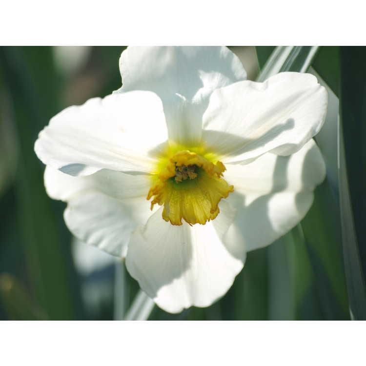 Narcissus 'Lancaster'
