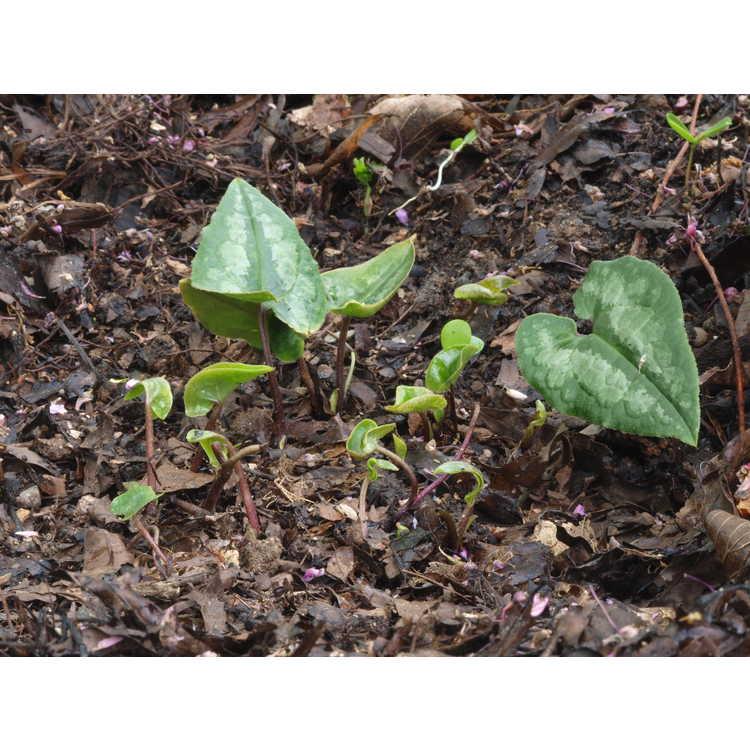 Asarum albomaculatum