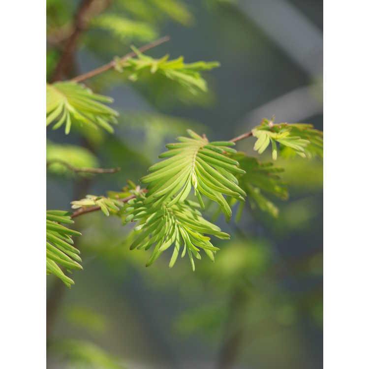 Metasequoia glyptostroboides 'Wah-08ag'