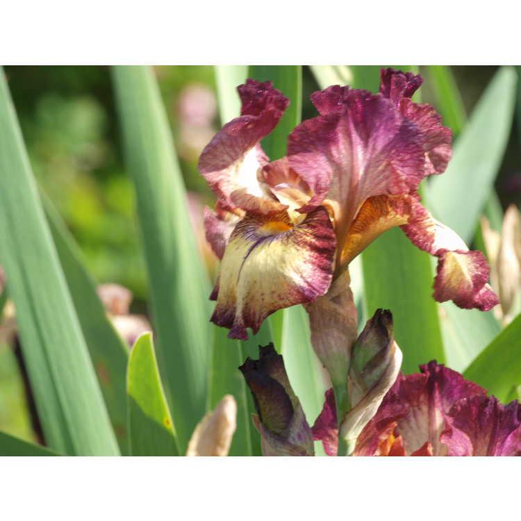Iris 'Innocent Star'