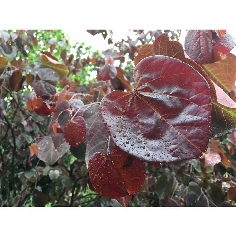 Cercis canadensis [Texensis Group] 'Merlot'