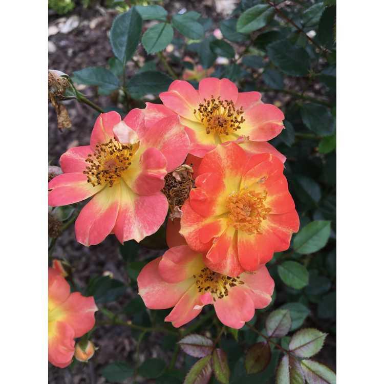Rosa 'Chewmaytime' - Oso Easy Paprika shrub rose
