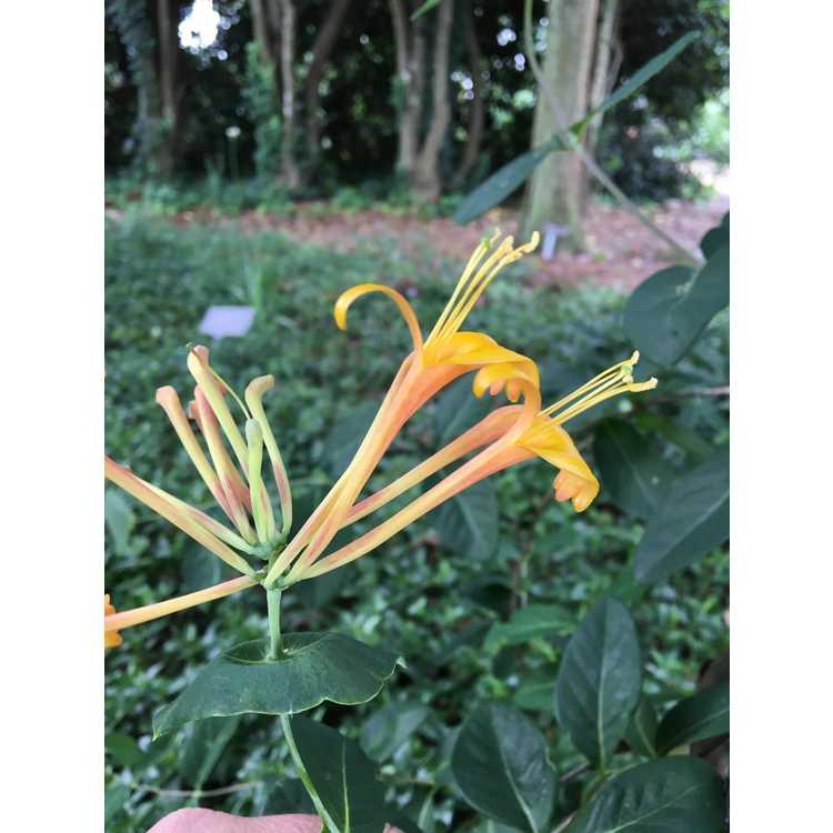 Lonicera 'Mandarin' - orange honeysuckle