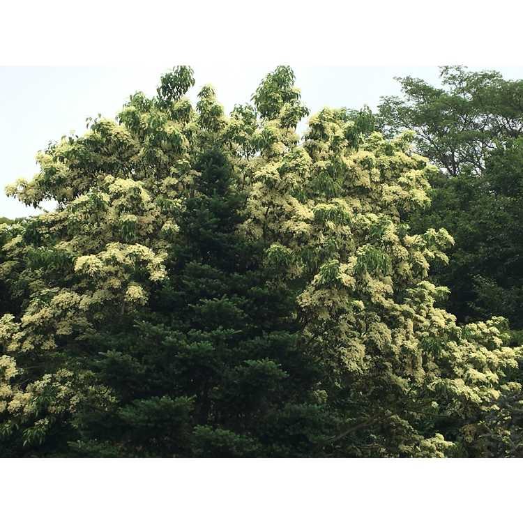 Cornus wilsoniana White Jade