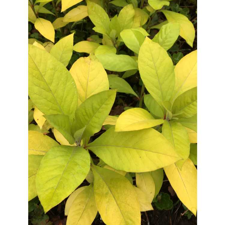 Lysimachia clethroides 'Heronswood Gold'