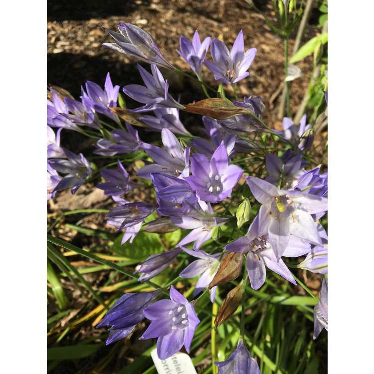 Triteleia laxa 'Corrina' - Ithuriel's spear