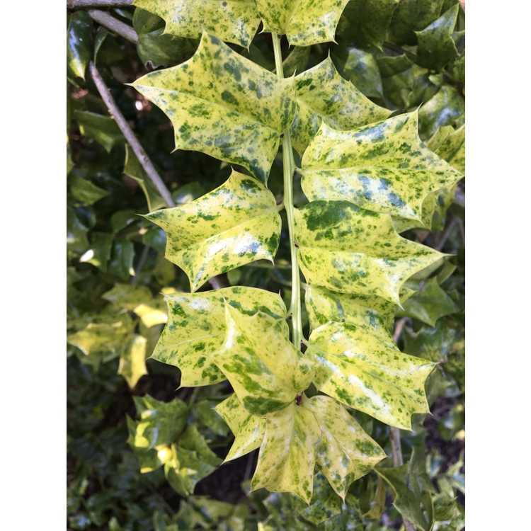 Ilex 'Sadie Scudder' - variegated holly