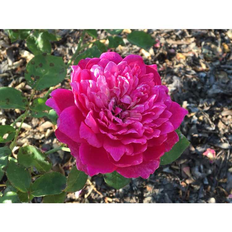 Rosa Auslot Sophys Rose