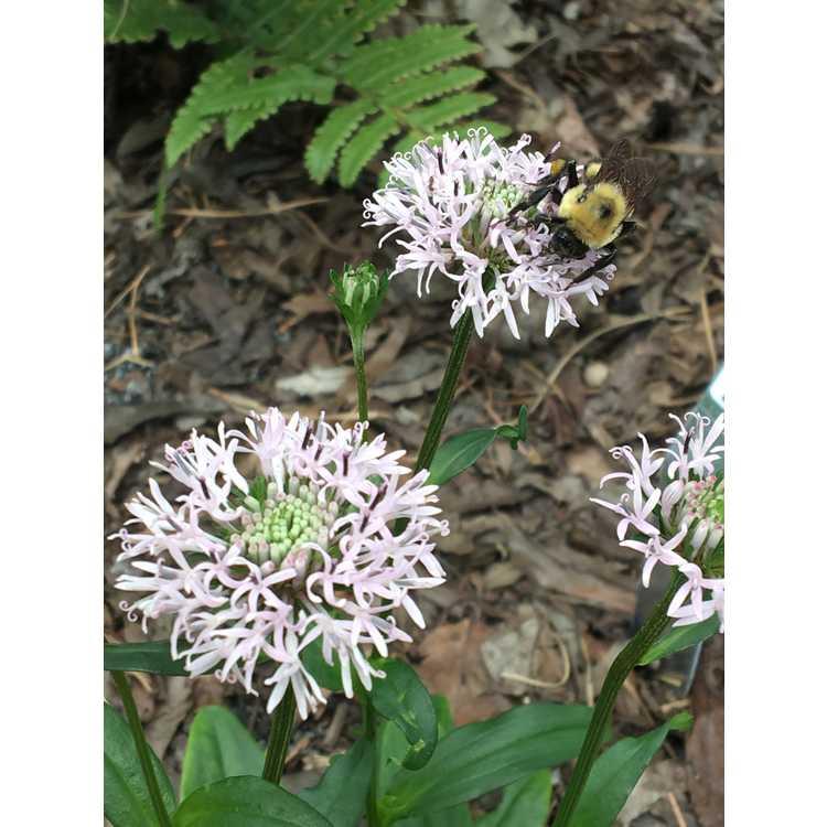Marshallia grandiflora - Monongahela Barbara's buttons