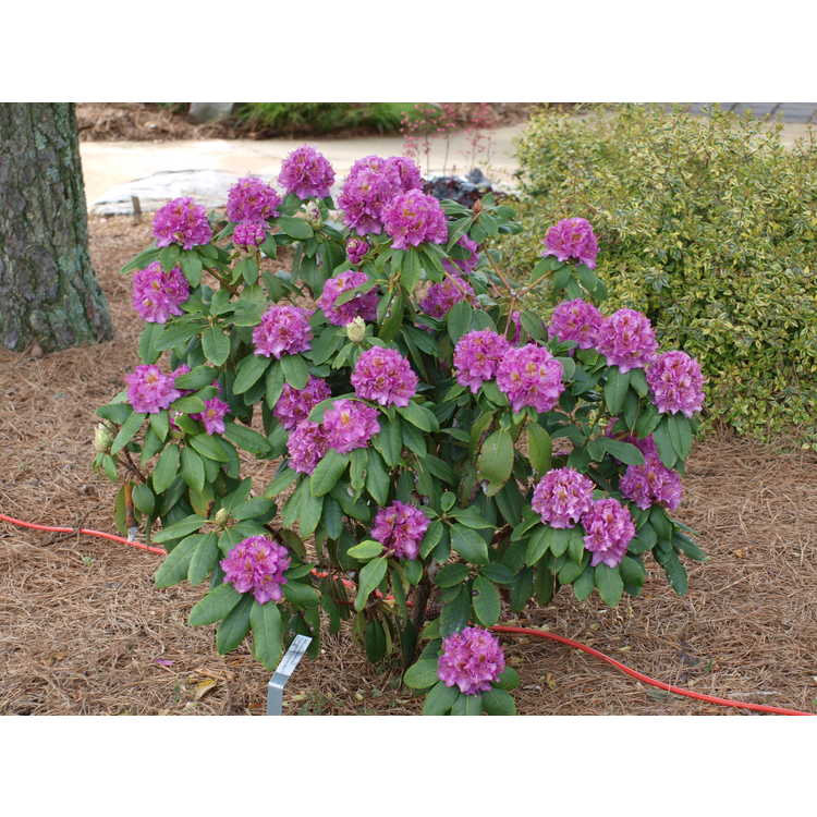 Rhododendron Lavj2011 Handy Man Purple