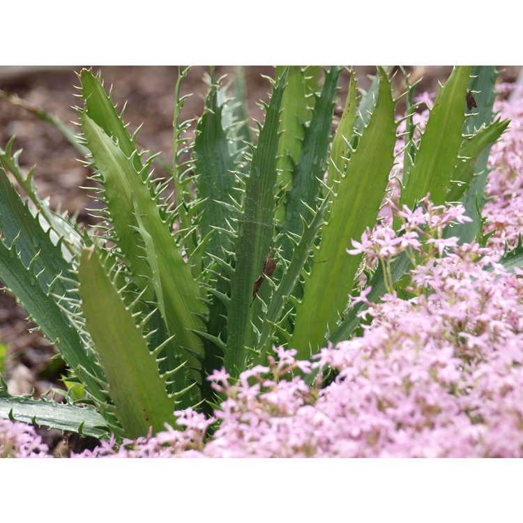 Eryngium agavifolium - agave leaf sea holly