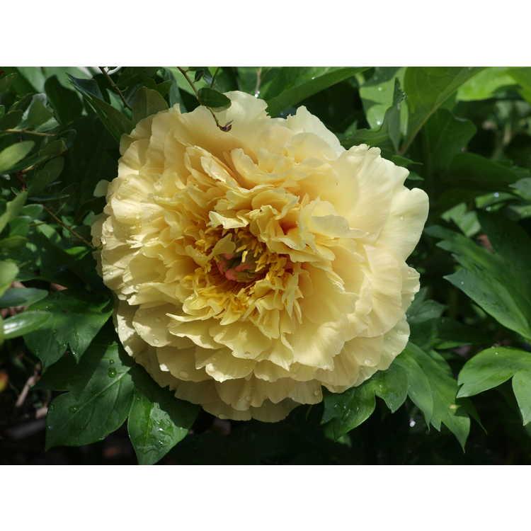 Paeonia 'Garden Treasure'