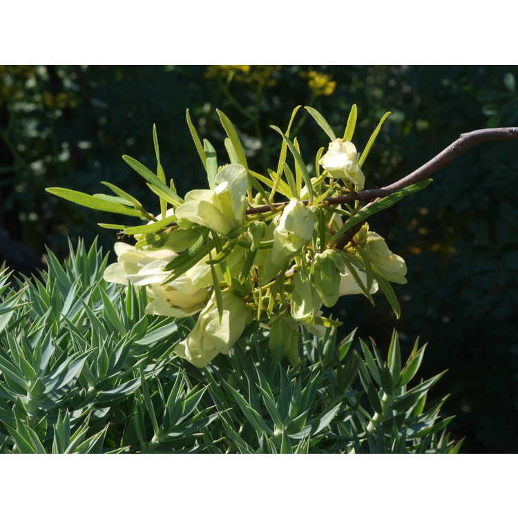 Asimina angustifolia - slim-leaf pawpaw