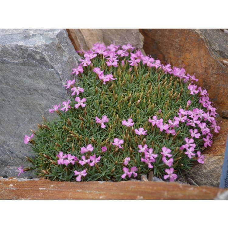 Dianthus erinacea var. alpina