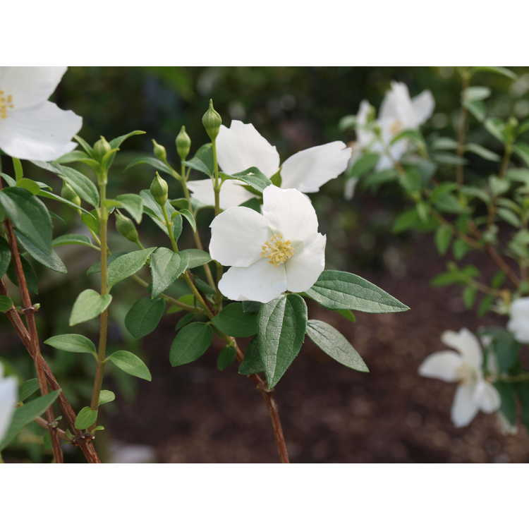 Philadelphus 'Silberregen' - silver showers mock-orange