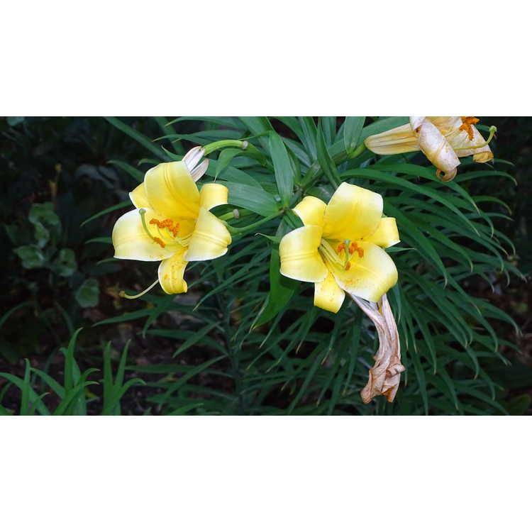 Lilium Golden Splendor Group